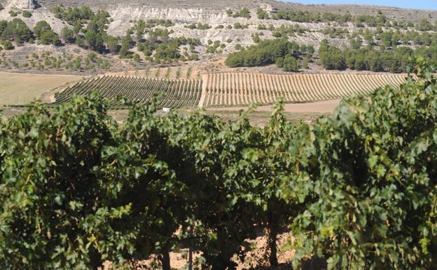 La añada 2018 de Ribera del Duero, calificada como muy buena