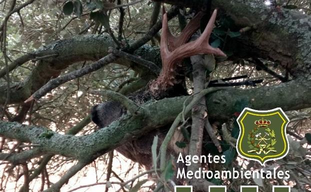 El cazador intentó ocultar la pieza entre las ramas de un árbol/@Apamcyl